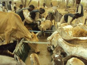 Vacche e capre bevono da una fonte riabilitata dalla CI